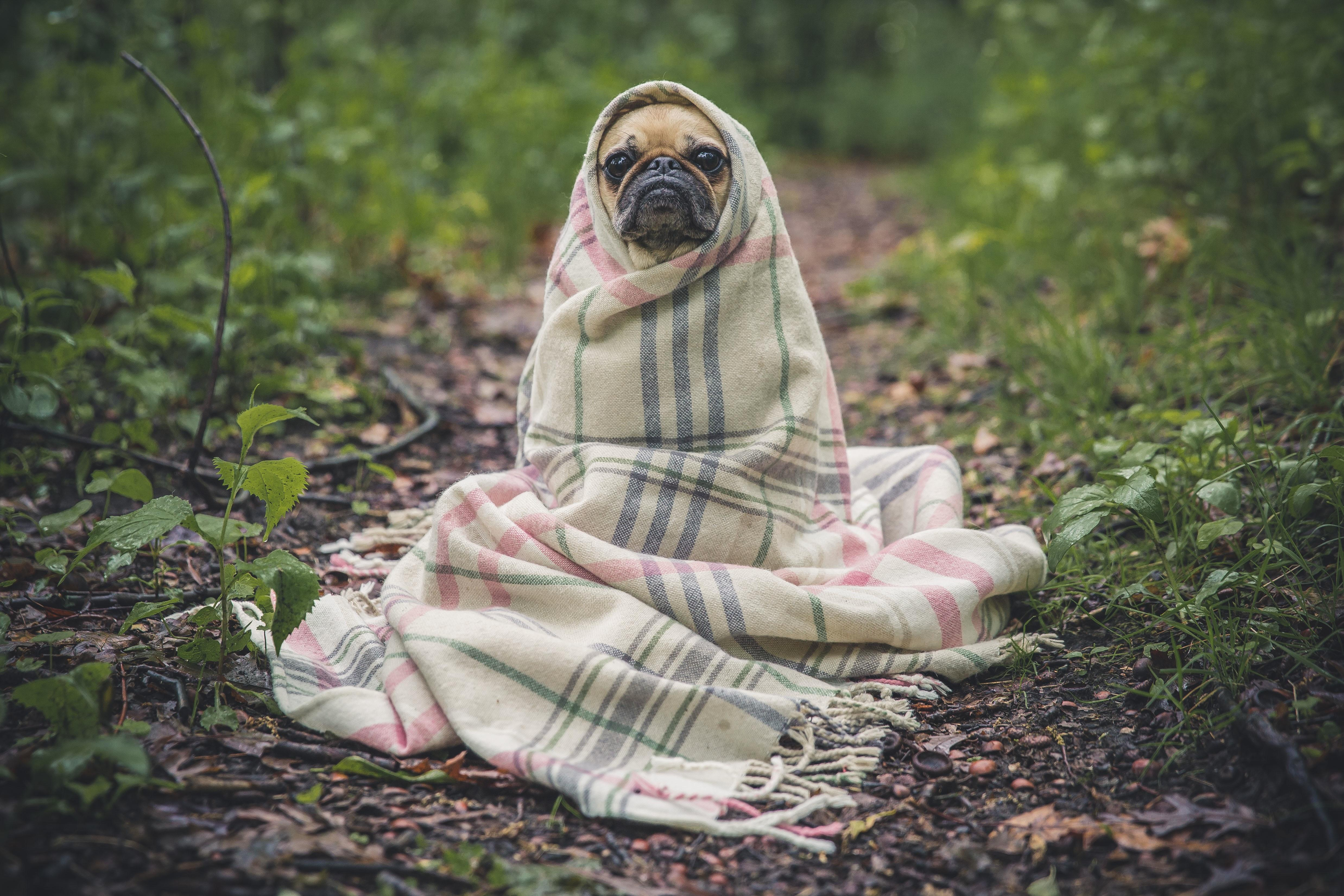 image of french bulldog wrapped in a cozy blanket.