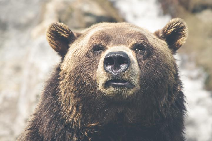 Full on brown bear close up.
